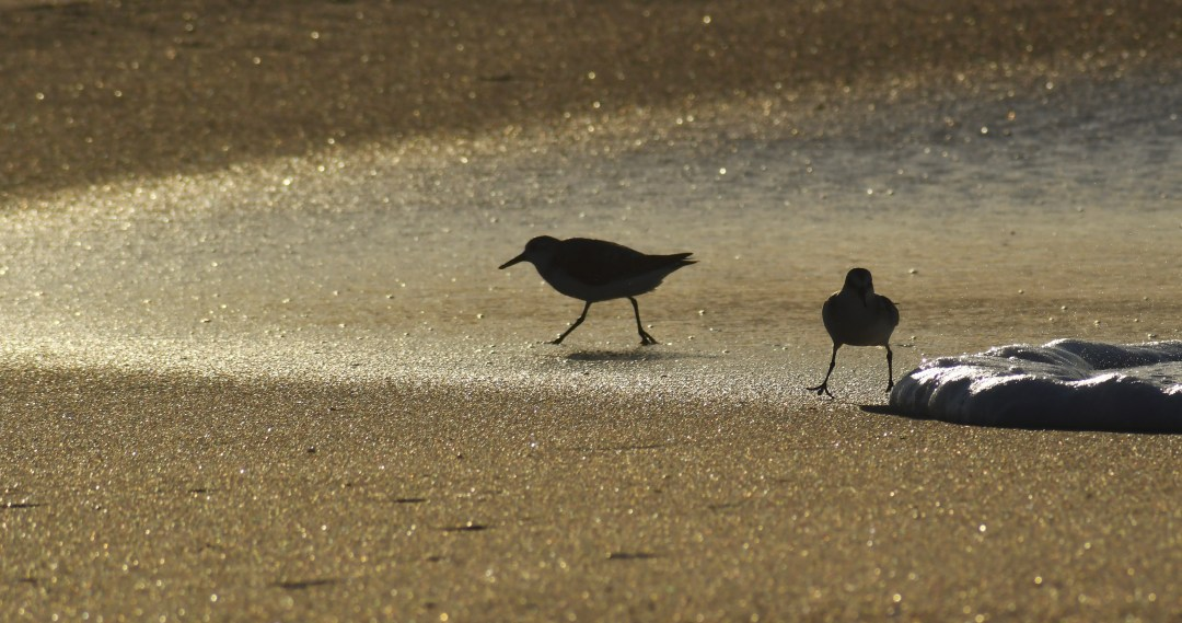 Sandpiper silhouettes, Cape May