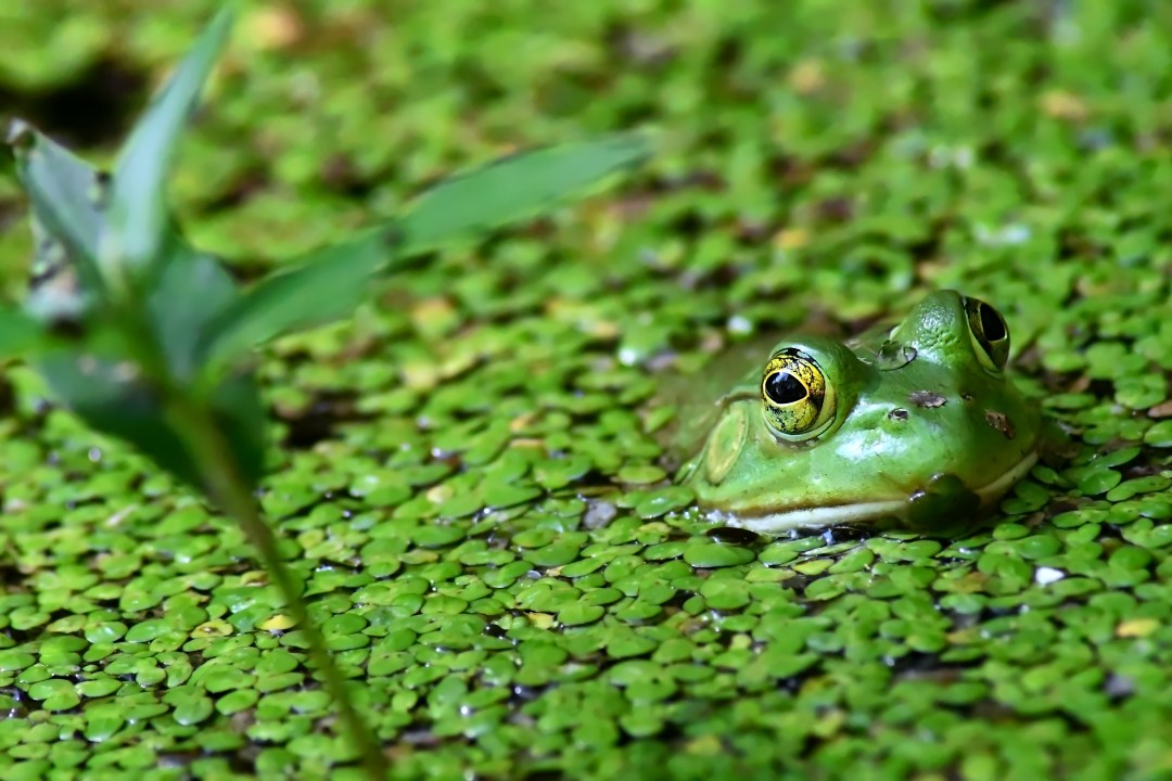Green frog, Churchville Nature Center