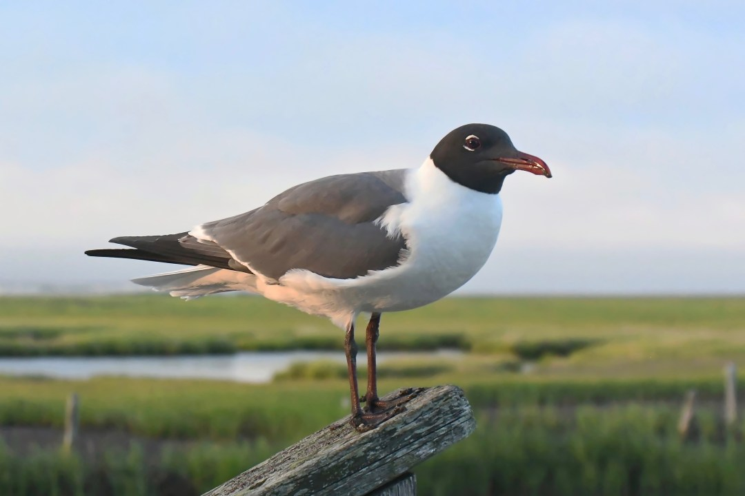 Laughing gull, Oyster Creek, NJ