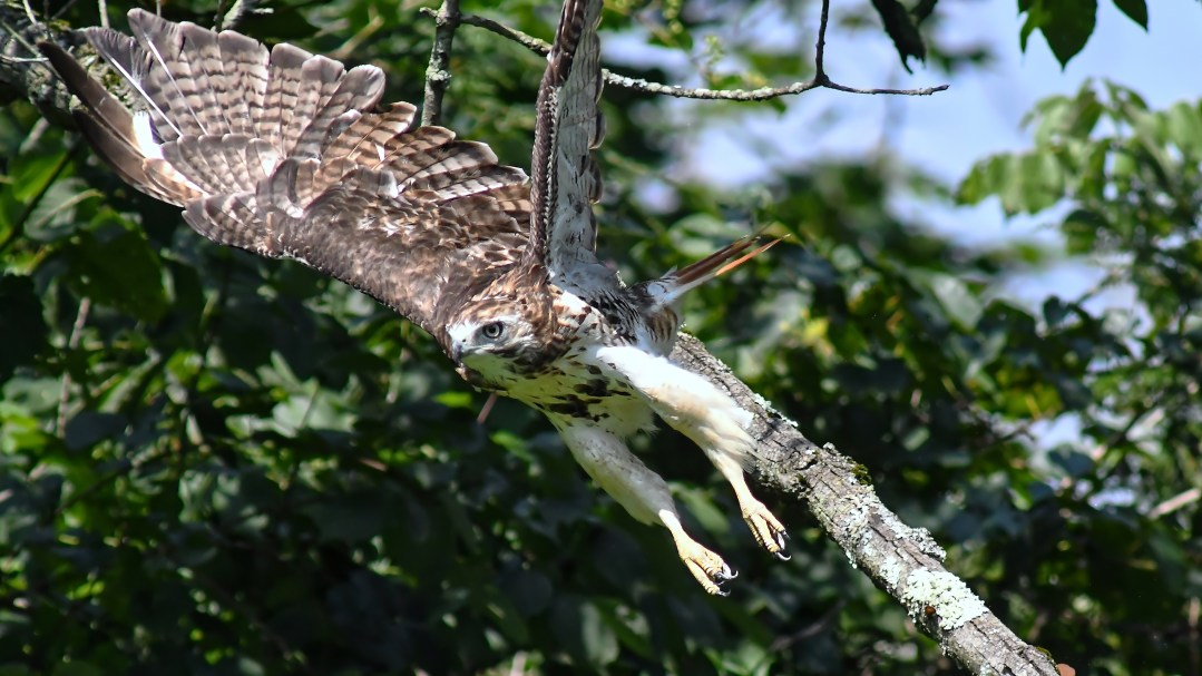 Red-tail hawk 1