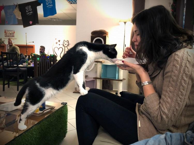 kubik, gatto bianco e nero, cerca di mangiare la cheesecake