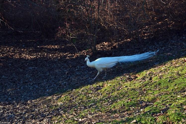 pavone bianco in gioco di luci e ombre