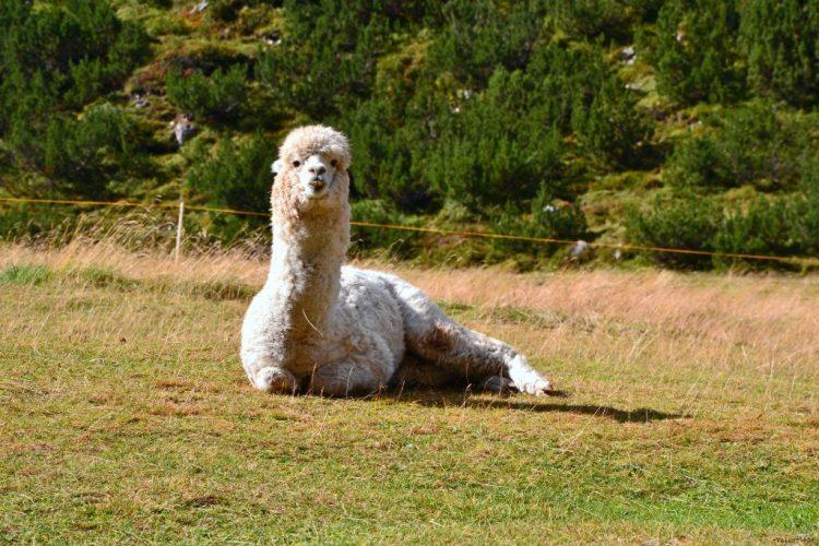 alpaca bianco e dentone al rifugio scotoni