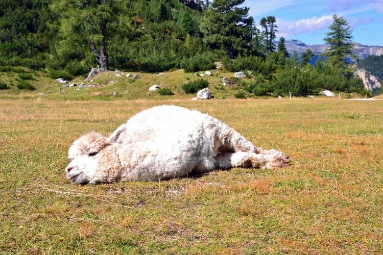 rifugio scotoni e lago lagazuoi: alpaca bianco coccolone al rifugio scotoni