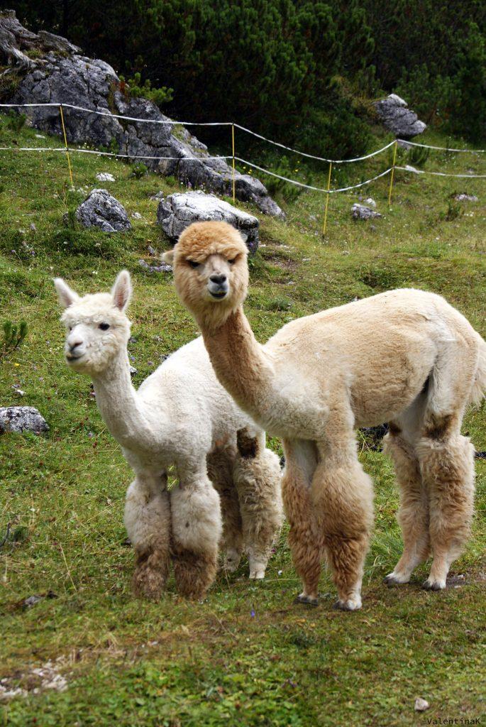 la coppia di simpatici alpaca del rifugio scotoni
