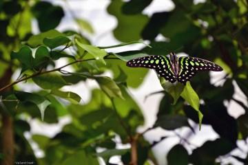 meravigliosa farfalla nera e verde, alla casa delle farfalle di cervia
