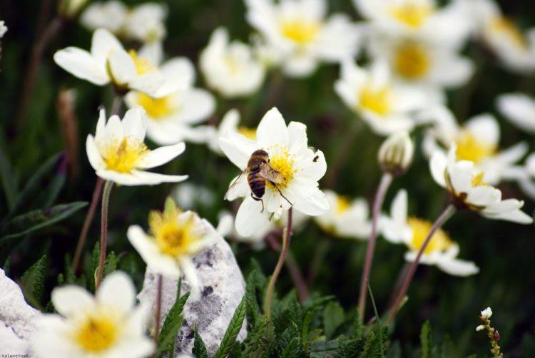 un'ape che trae nettare da bellissimi fiori di montagna