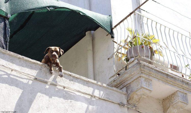 cane simpatico in attesa presso un balcone di Specchia
