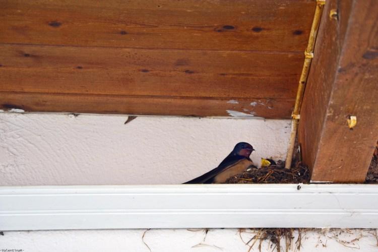 cosa fare a zacinto: cercare i nidi di rondine nei paesi del nord