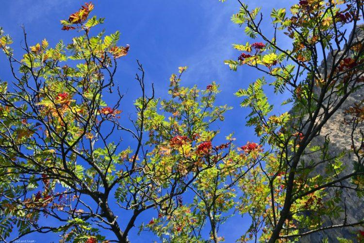 un mezzogiorno settembrino di montagna: foglie di albero con bacche rosse