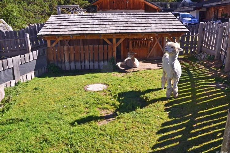 gli alpaca del rifugio scotoni