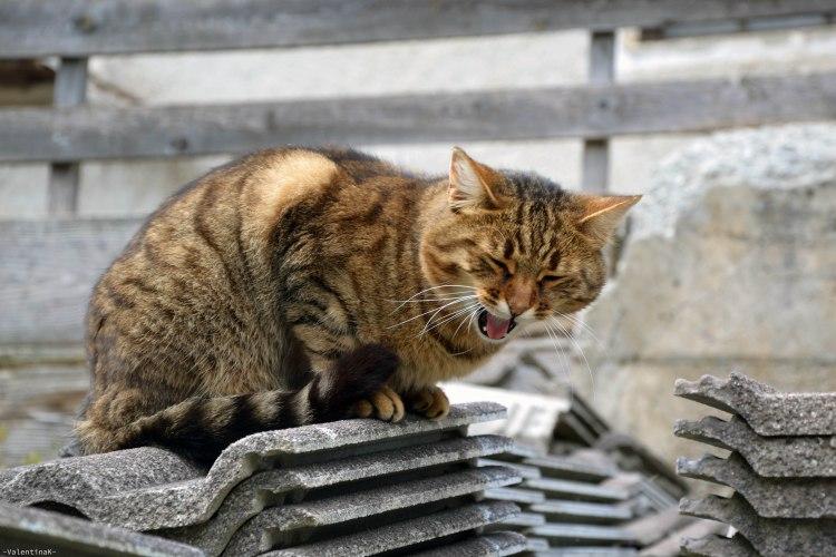 micio tigrato che sbadiglia