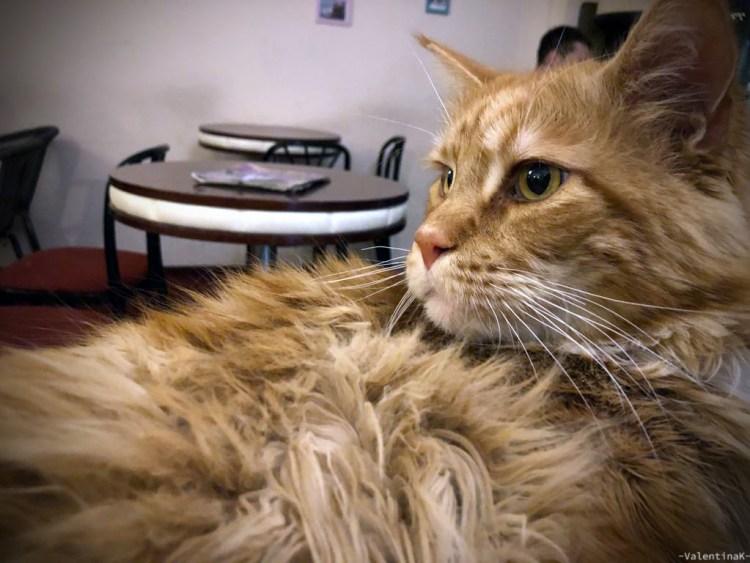 cafè e sale da tè a cracovia: simba, il bellissimo gatto rosso del cat cafè di cracovia