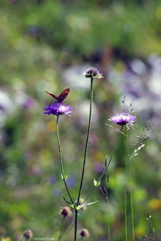insegui sempre le farfalle: farfalla montanara nella natura