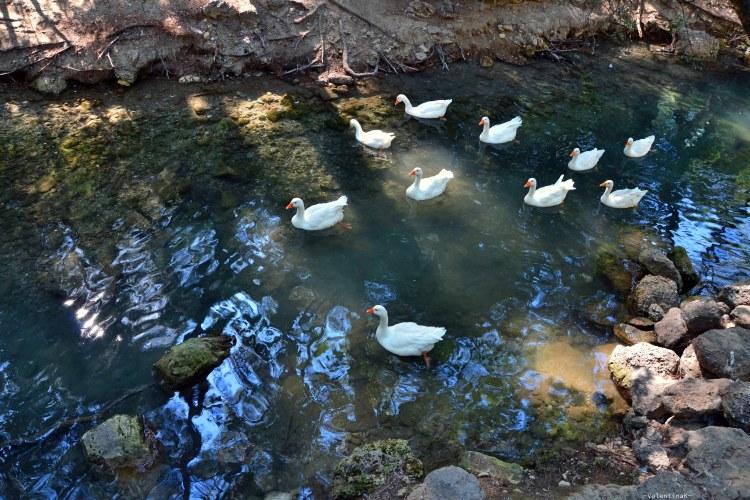 le sette sorgenti con un branco di anatre bianche