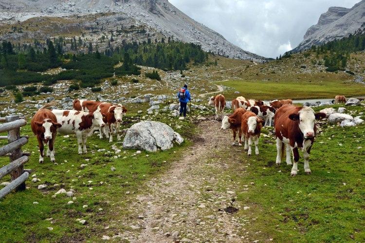 sentiero che passa in mezzo alle mucche a fanes