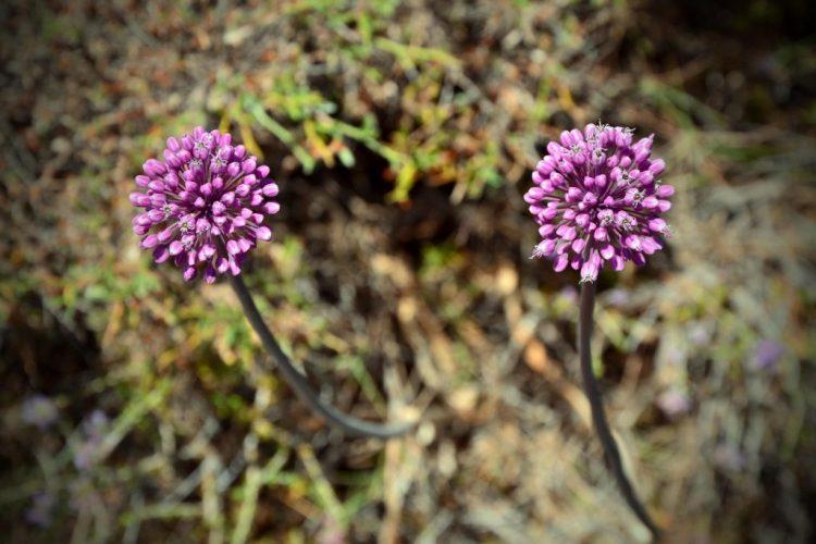 Settembre e nuovi inizi: fiori rosa di aglio selvatico