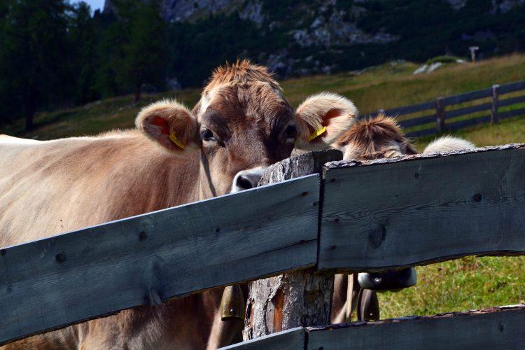 mucche pusteresi timide ma curiose
