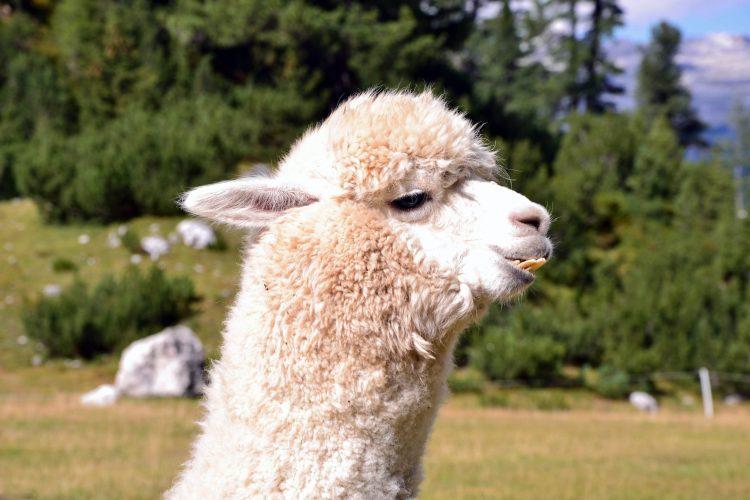 simpatico muso di alpaca bianco con denti sporgenti
