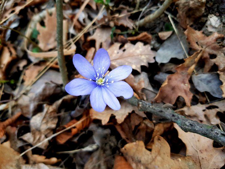pillole di febbraio: fiore anemone epatica già fiorito