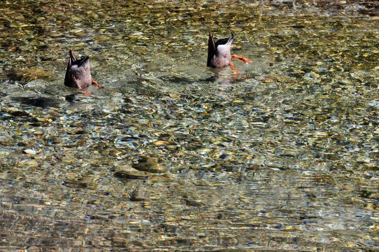 anatre che si tuffano sott'acqua in cerca di pesci