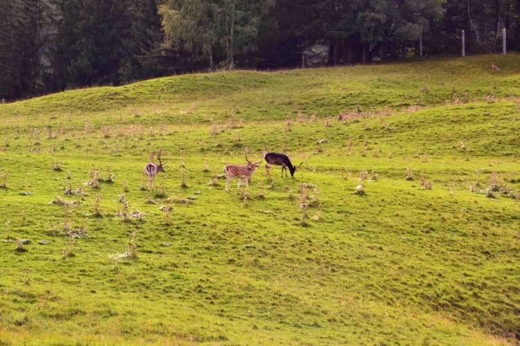 Cosa fare in Val Badia quando piove: cervi e daini nei prati