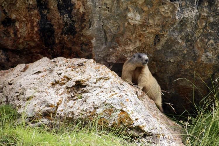 marmotta che si affaccia su una roccia dolomitica