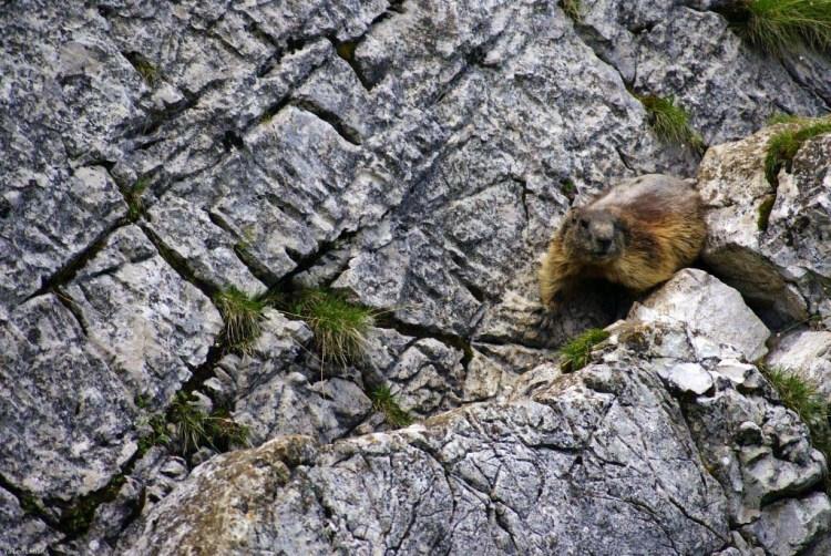 marmotta su una roccia di montagna