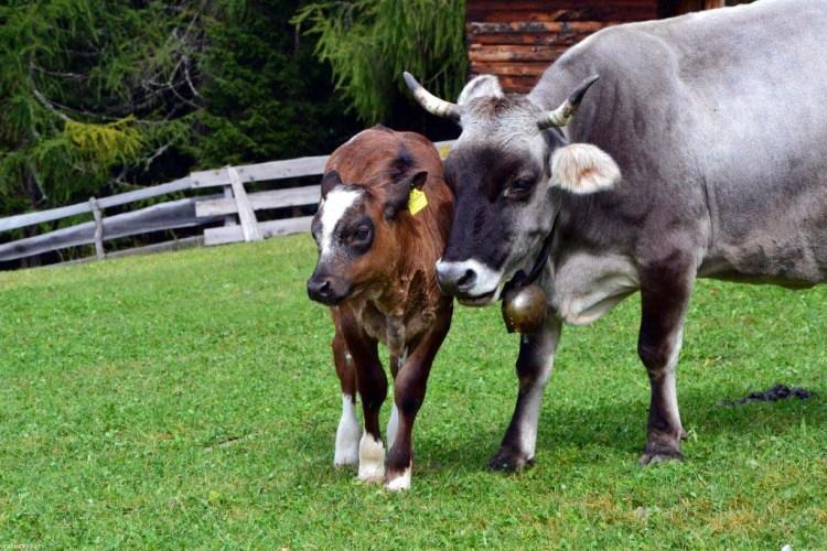 mucca e vitellino nei pressi del rifugio Brogles