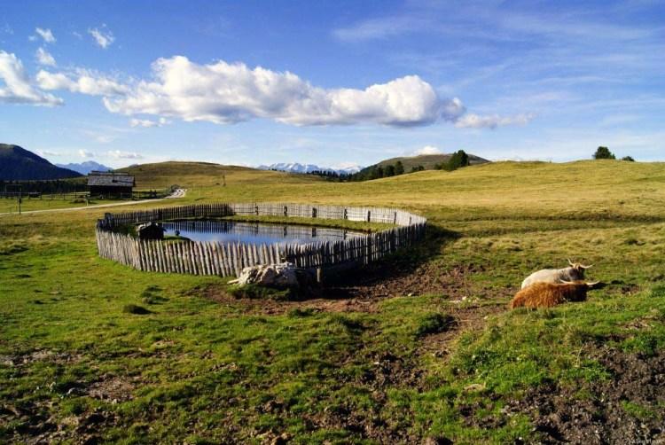 Laghetto e mucche highlander nella roda de putia