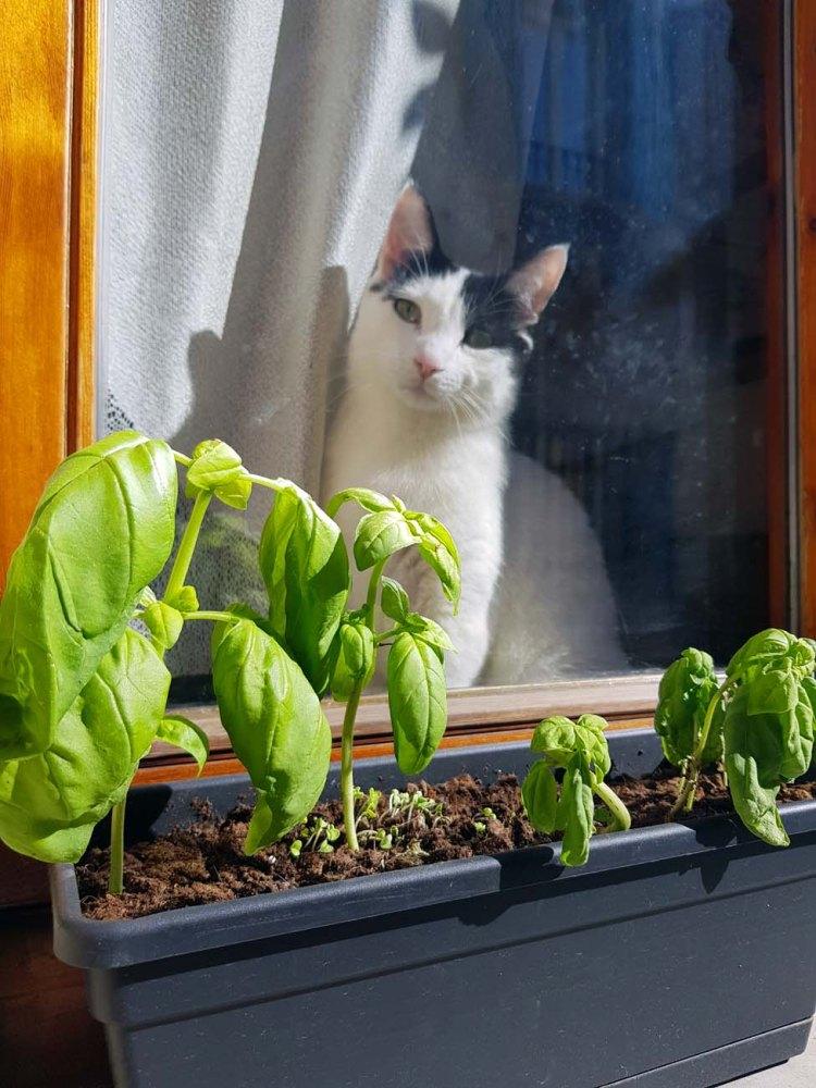 un gatto bianco e nero che si affaccia da una finestra