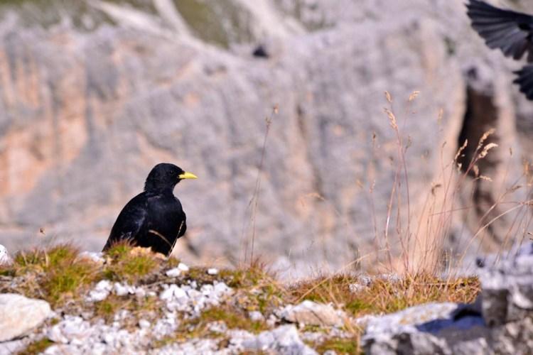 gracchio alpino nero con becco giallo