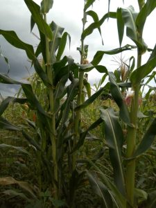 Maize (farmer managed seeds) not affected by fall army worms