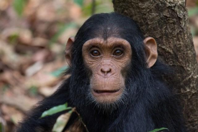 gombe-stream-national-park-chimpanzee