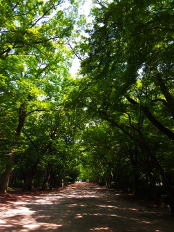 Corridor of towering trees
