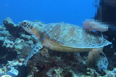 阿嘉島ダイビング ウミガメ