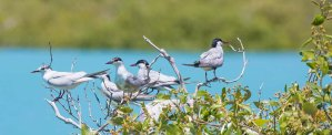 Roseate terns, Roebuck Bay, Broome. Kimberley Wildlife Expedition Cruises