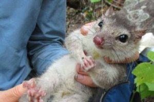 Northern quoll - Kimberley Wildlife Expedition Cruises