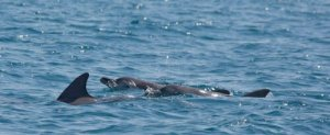 Indo-Pacific Bottlenose dolphins in the waters off Willie Creek. - Kimberley Wildlife Expedition Cruises