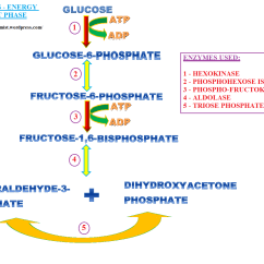 Stages Of Glycolysis And Fermentation Diagram 12v Solar Panel Wiring  Energy Investment Phase Biochem Rocks