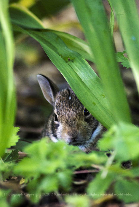 A juvenile Cottontail Rabbit hides under the leaves of a Lily plant.