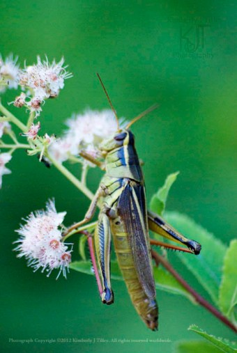A grasshopper finds it's meal on a Queen-of-the-Prairie plant.