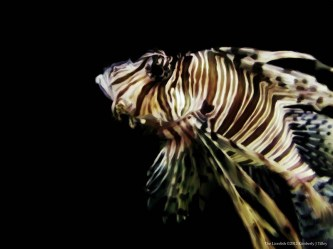 wp-kimberlyjtilley-thelionfish_9102012
