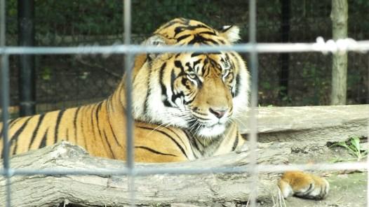 Toronto Zoo Tiger