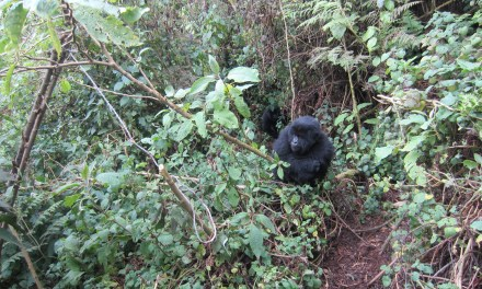 """Gorillas"" Named Finalist for 2013 Science Seeker Award"