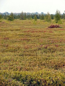 Mer Bleue Bog conservation area, Ottawa, Canada.