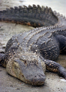 Alligator NASA