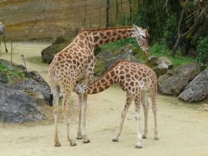 Kordofan giraffes (Credit: Simon J. Tonge CC 3.0)