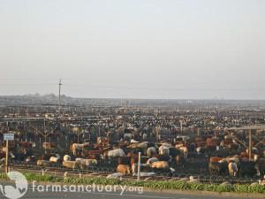 Harris Ranch Industrial feedlot (Photo: Farm Sanctuary CC BY-NC-ND 2.0)