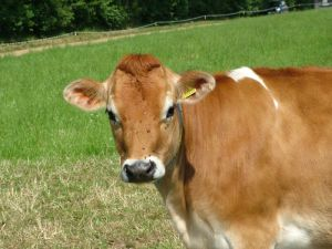 Jersey cows are pretty dairy cows (Flickr User Up Your Ego CC BY-NC-SA 2.0 )